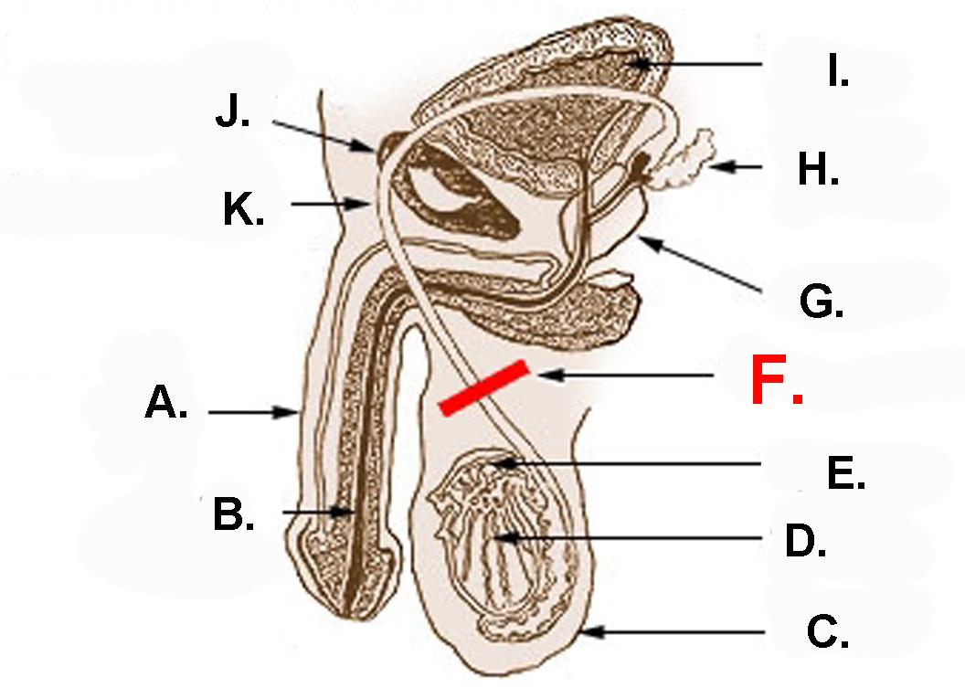 vasectomy_anatomy_picture